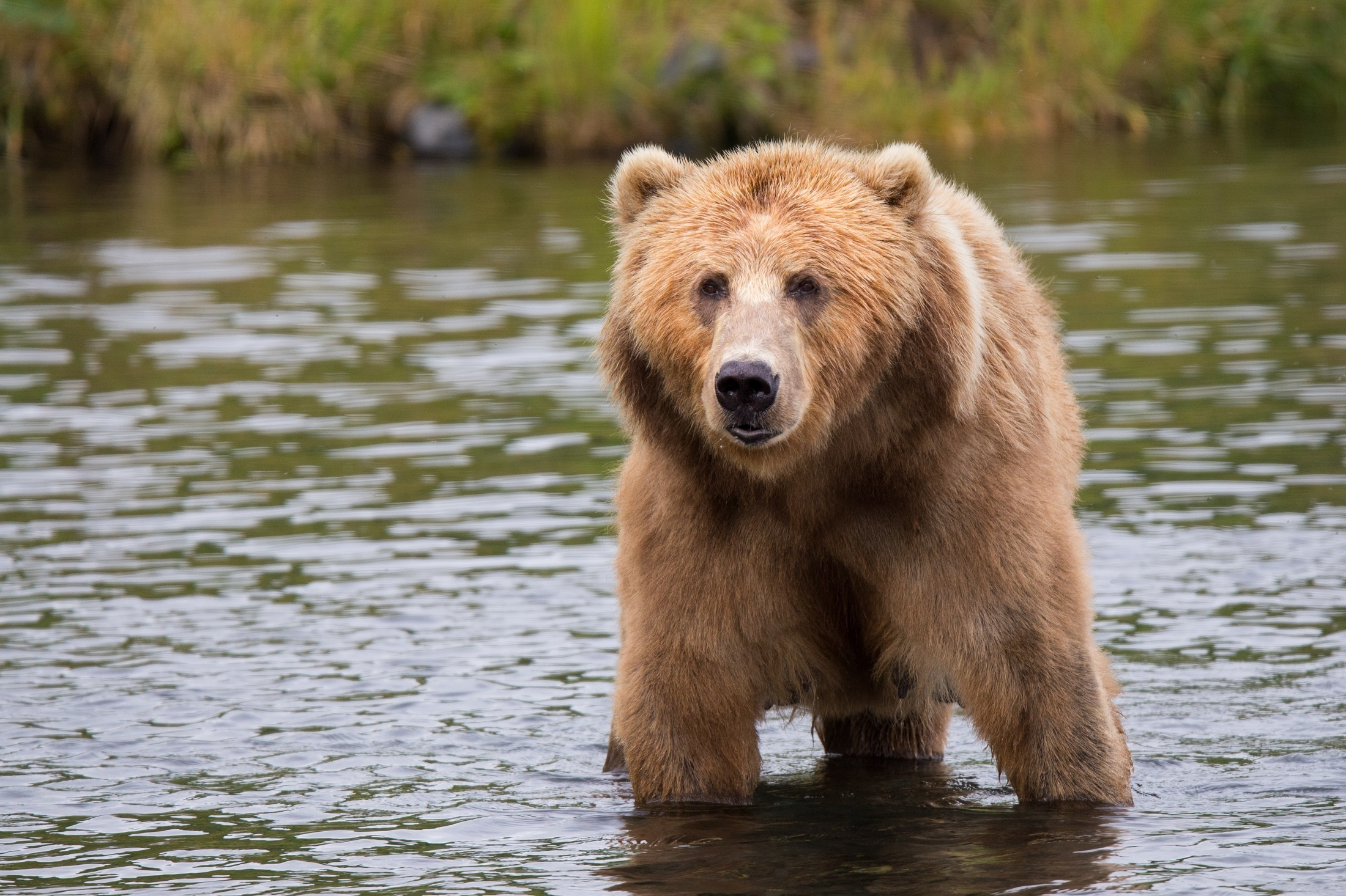 kodiak-brown-bear-adult-portrait-wildlife-158109