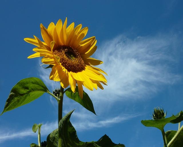 sun-flower-2545848_640
