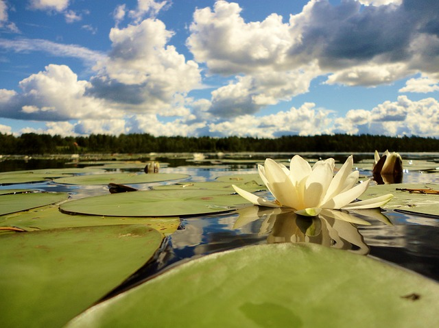 water-lily-2930857_640