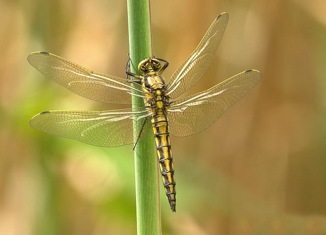 dragonfly-348433_640