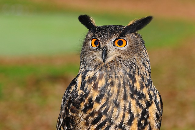 european-eagle-owl-2010346_640--1-