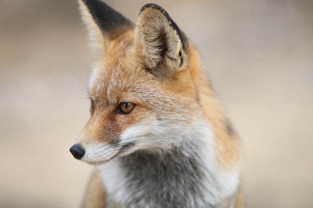 fox-2825118_640