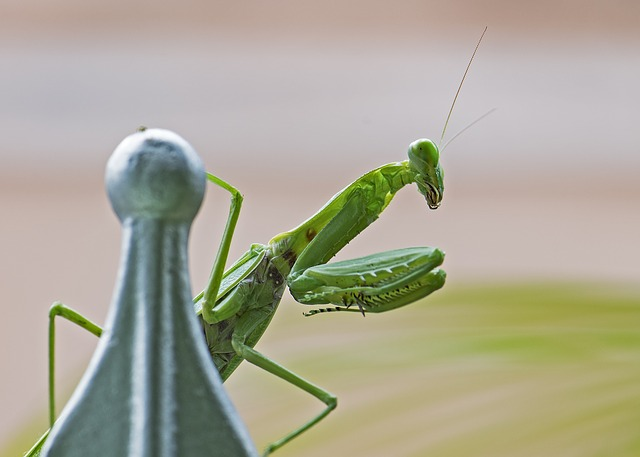 praying-mantis-1650102_640