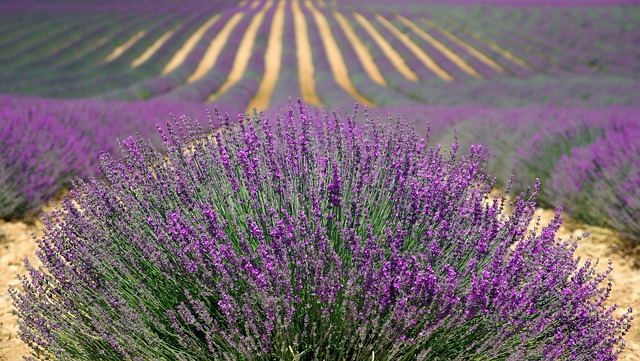 lavender-894919_640