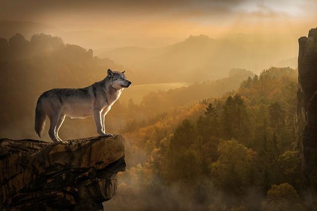 wolf-3158282_640