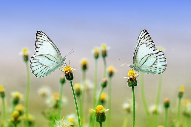 butterfly-1127666_640-1