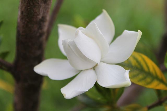 gardenia-139277_640