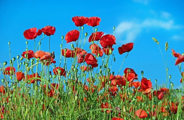 poppy-1447203_640