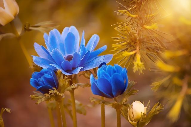 anemone-2396299_640
