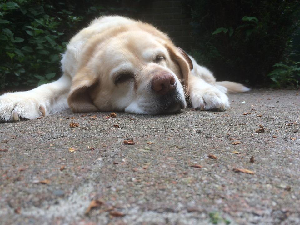 old-dog-2439242_960_720