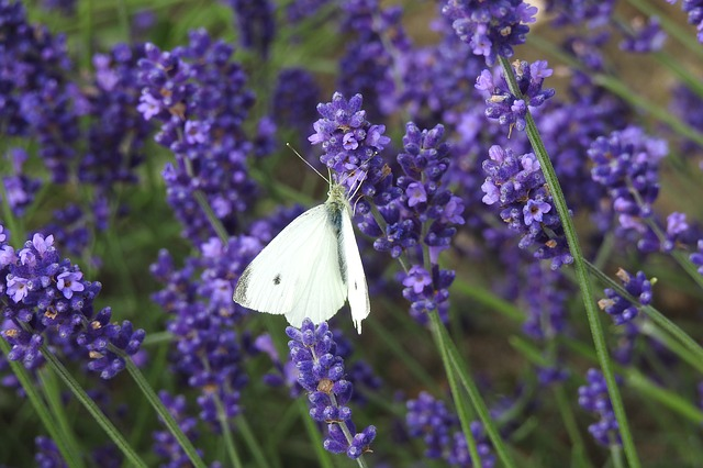 lavender-3476025_640