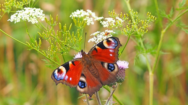 peacock-butterfly-1526939_640