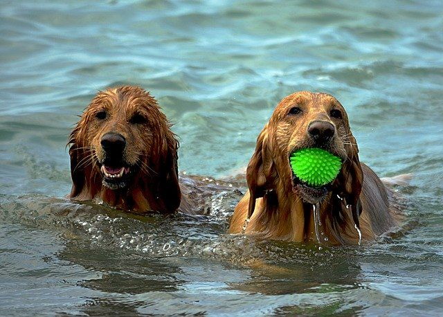 two-labrador-dog-playing-in-water-small