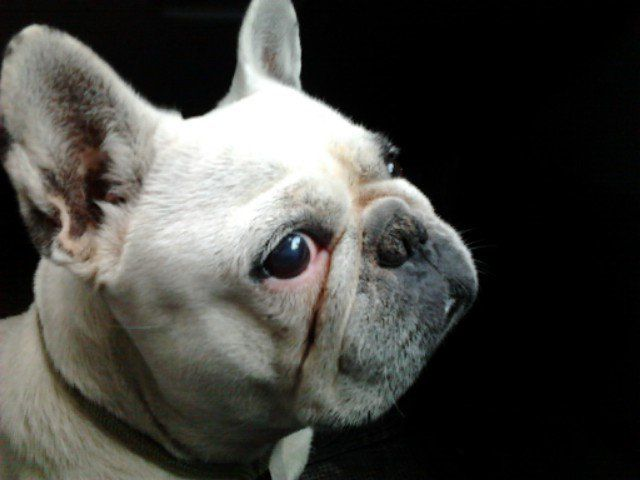 close-up portrait of a white french bulldog on black background