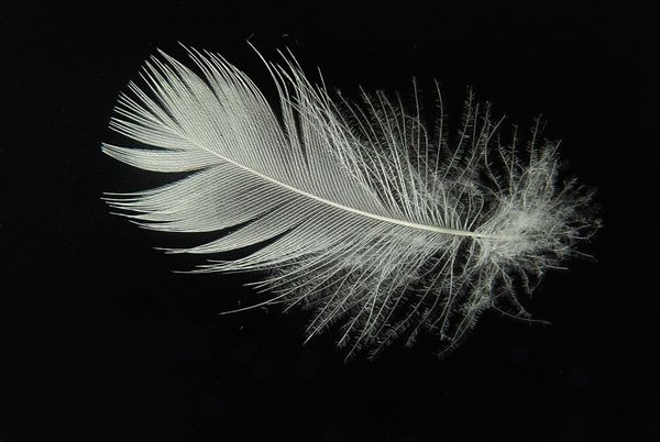 Feathers Appear When Angels Are Near. What Is The Meaning Of Finding Feathers?