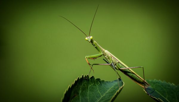 Praying Mantis Symbolism & Facts