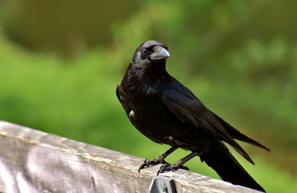 If You've Been Seeing Crows Everywhere, This Is What It Means!